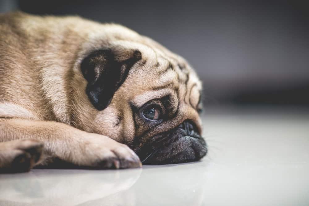 Sad-looking pug