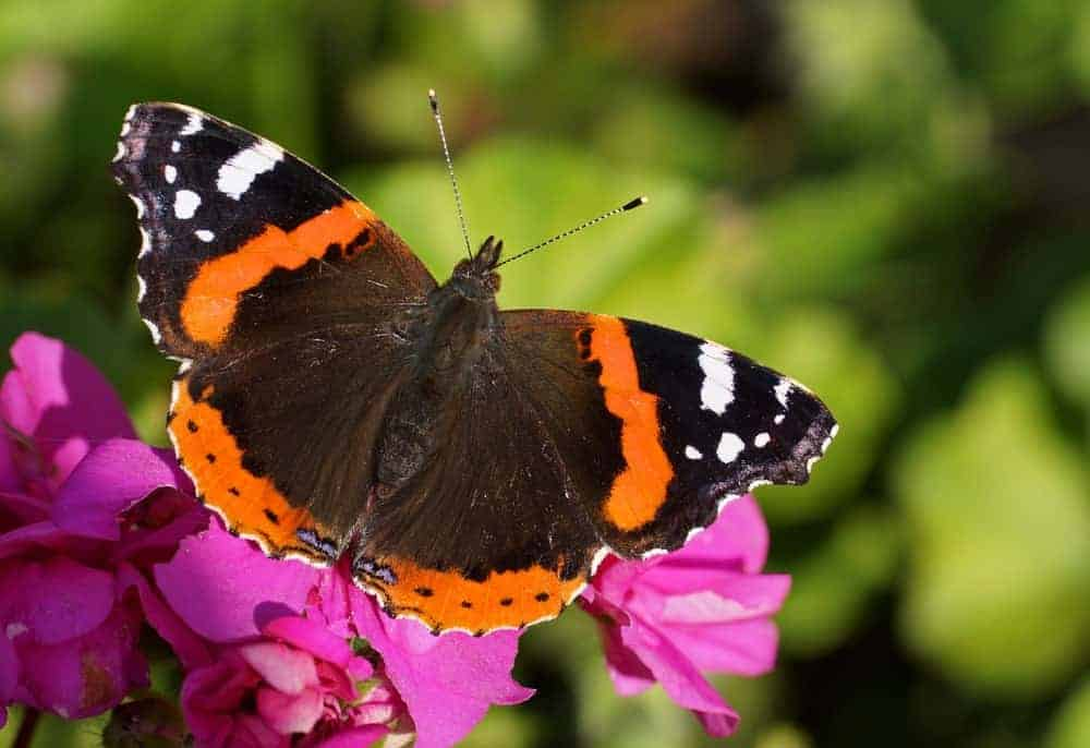 Red Admiral butterfly on a leaf