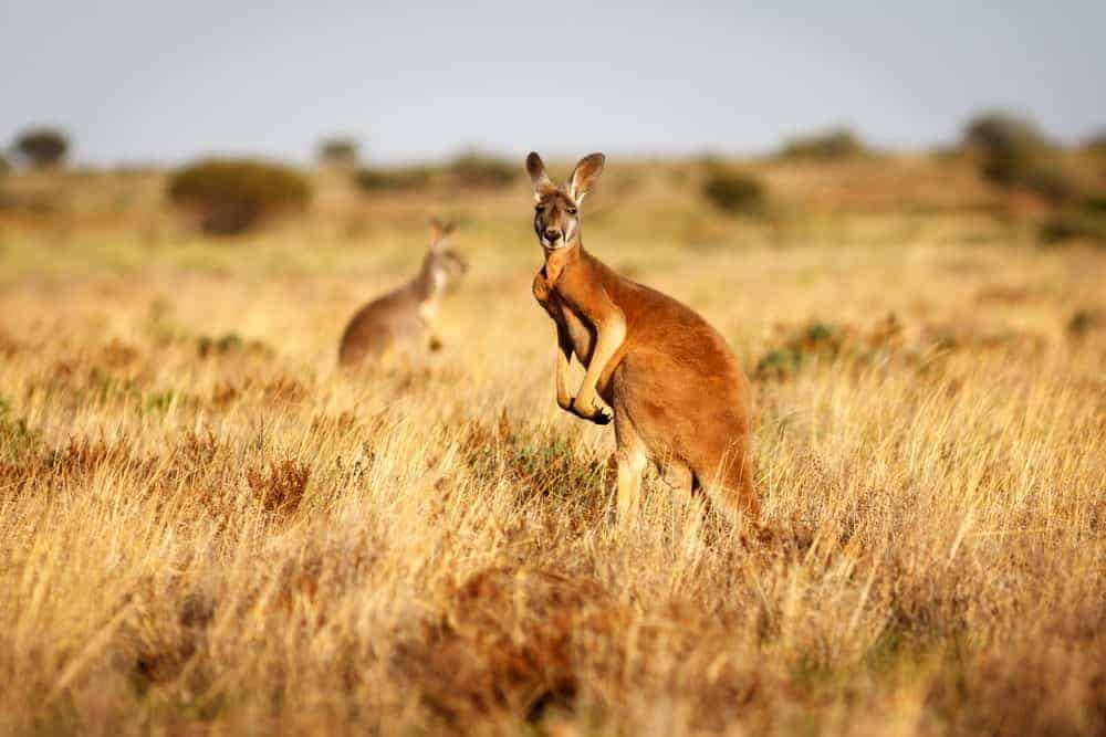 A eed kangaroo standing upright