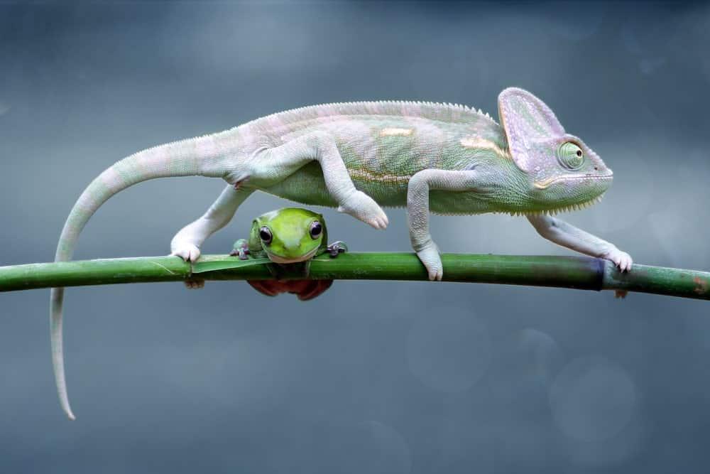 A frog sitting underneath a chameleon.