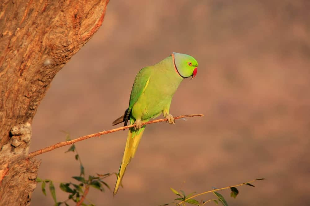 A green ring-necked parakeet on a branch,