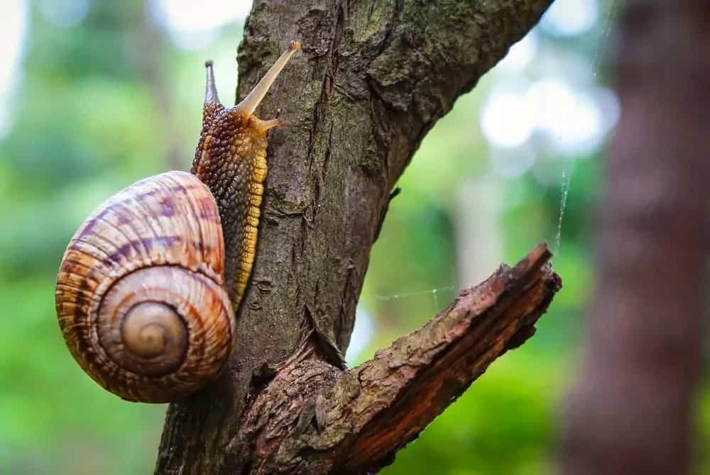 Roman snail crawling up a tree.