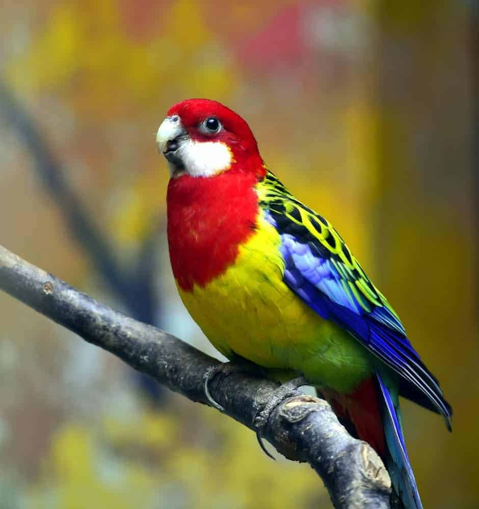 Eastern Rosella with vibrant colors.