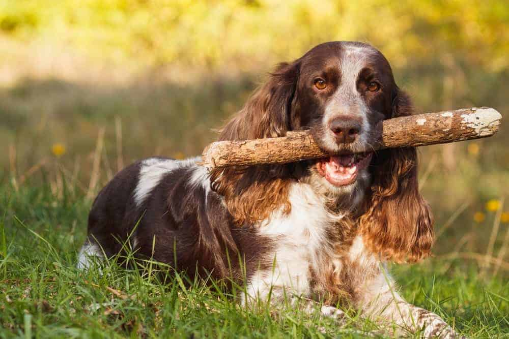 A brown Spotted Russian Spaniel fetching a wood.