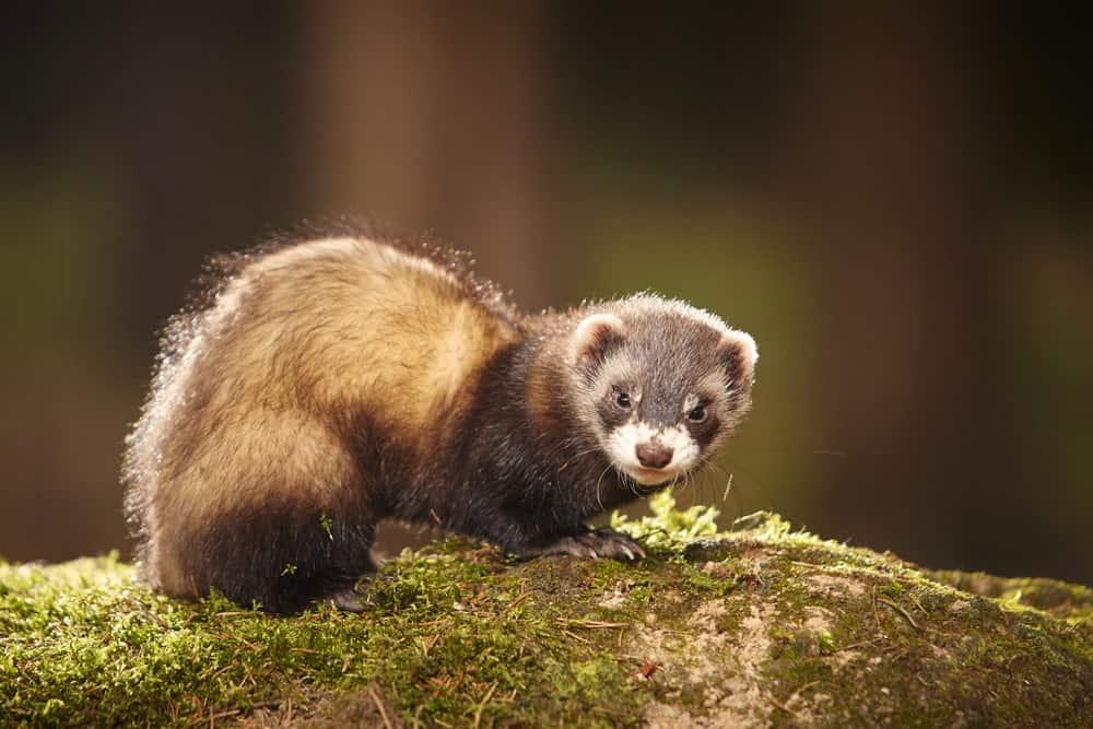 Sable Ferret