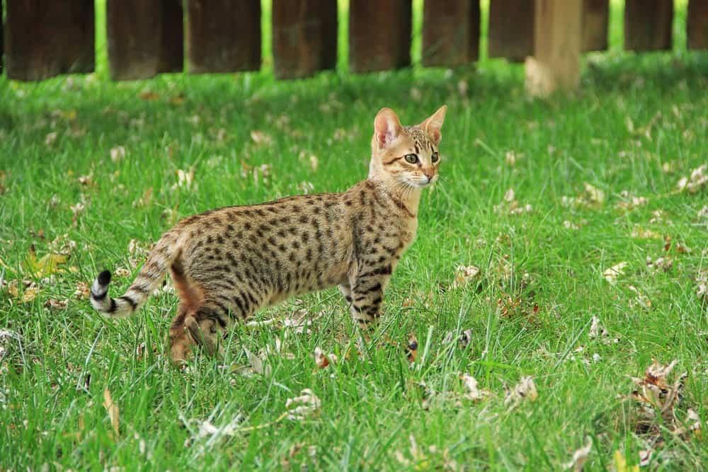 Savannah cat in grass