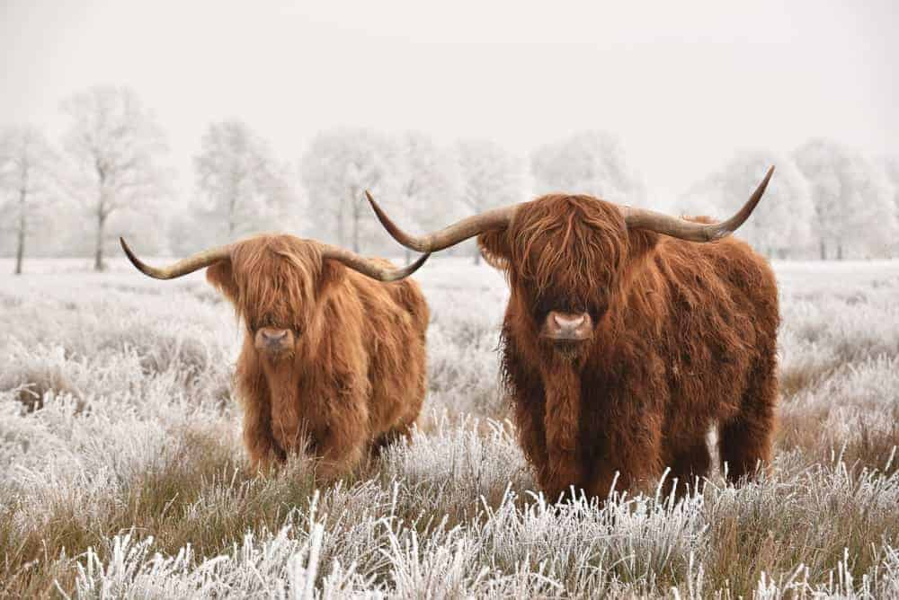 Two Scottish Highland cows
