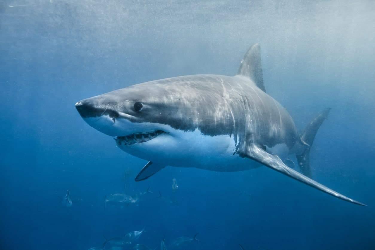 Great White Shark under the ocean.
