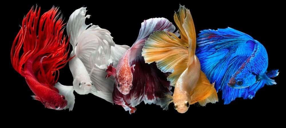 Multicolored Siamese Fighting fishes