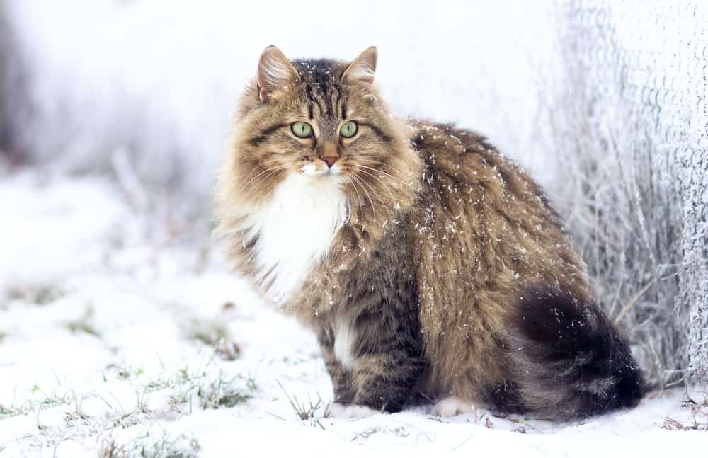 Majestic Siberian cat in snow
