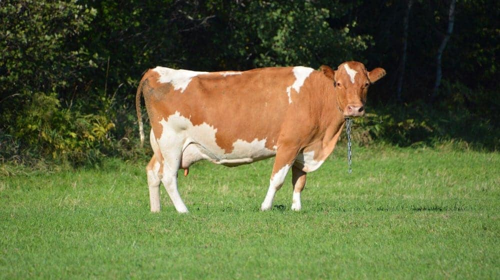 Simmental cow with chain on is neck.