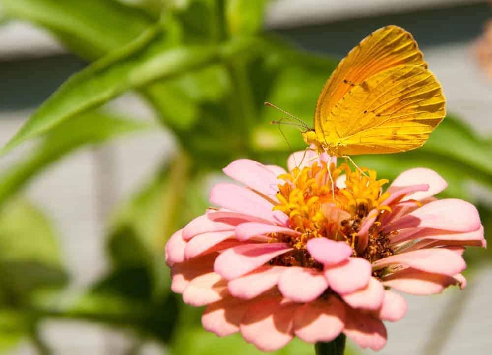 Sleepy Orange butterfly feeding on Zinnia flower