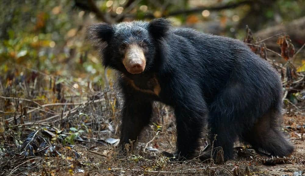 Sloth bear in the wild.