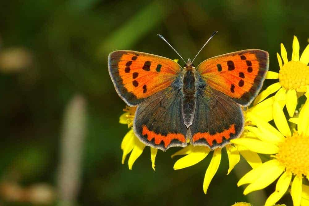 Small Copper butterfly sitting on bright yellow flowers