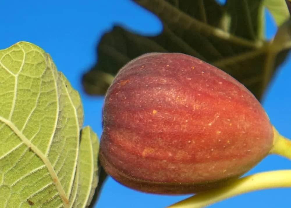 Smyrna fig tree fruit