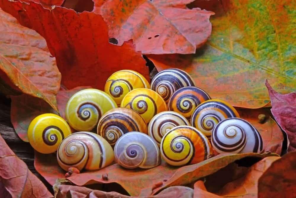 Cuban snails on autumn leaves.