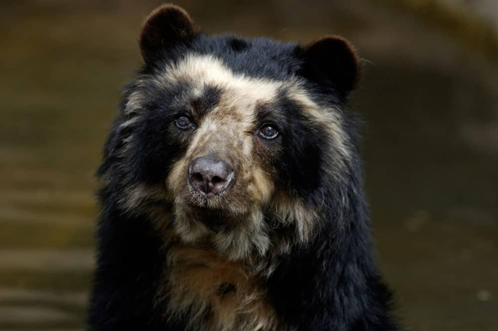 Wild spectacled bear head shot.