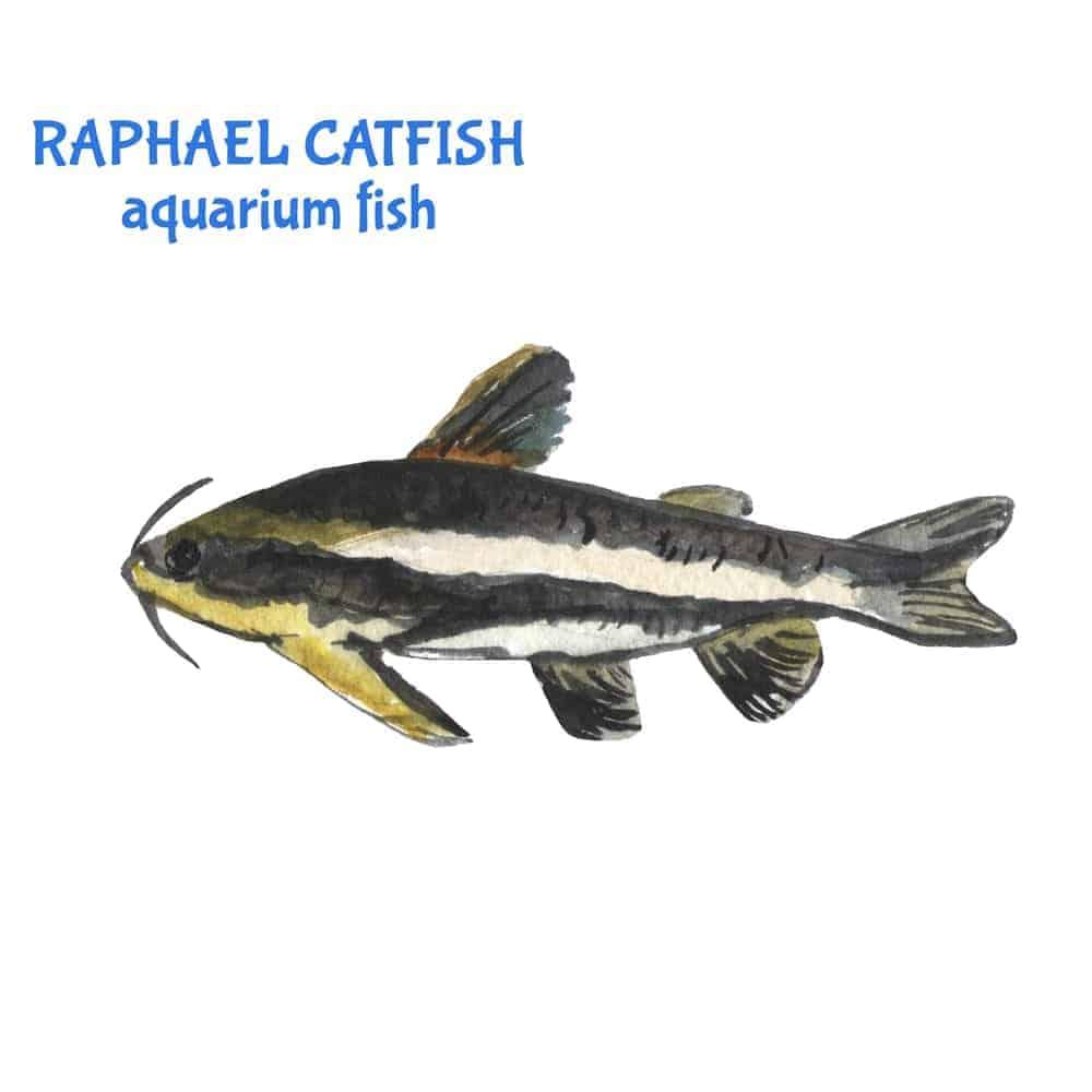 Striped Raphael Catfish