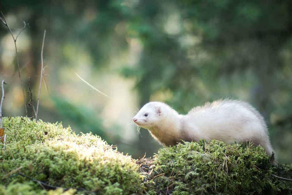 Stripped White Ferret