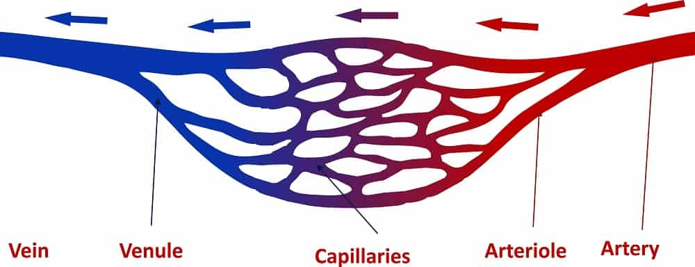 Illustration of the structure of blood vessels.