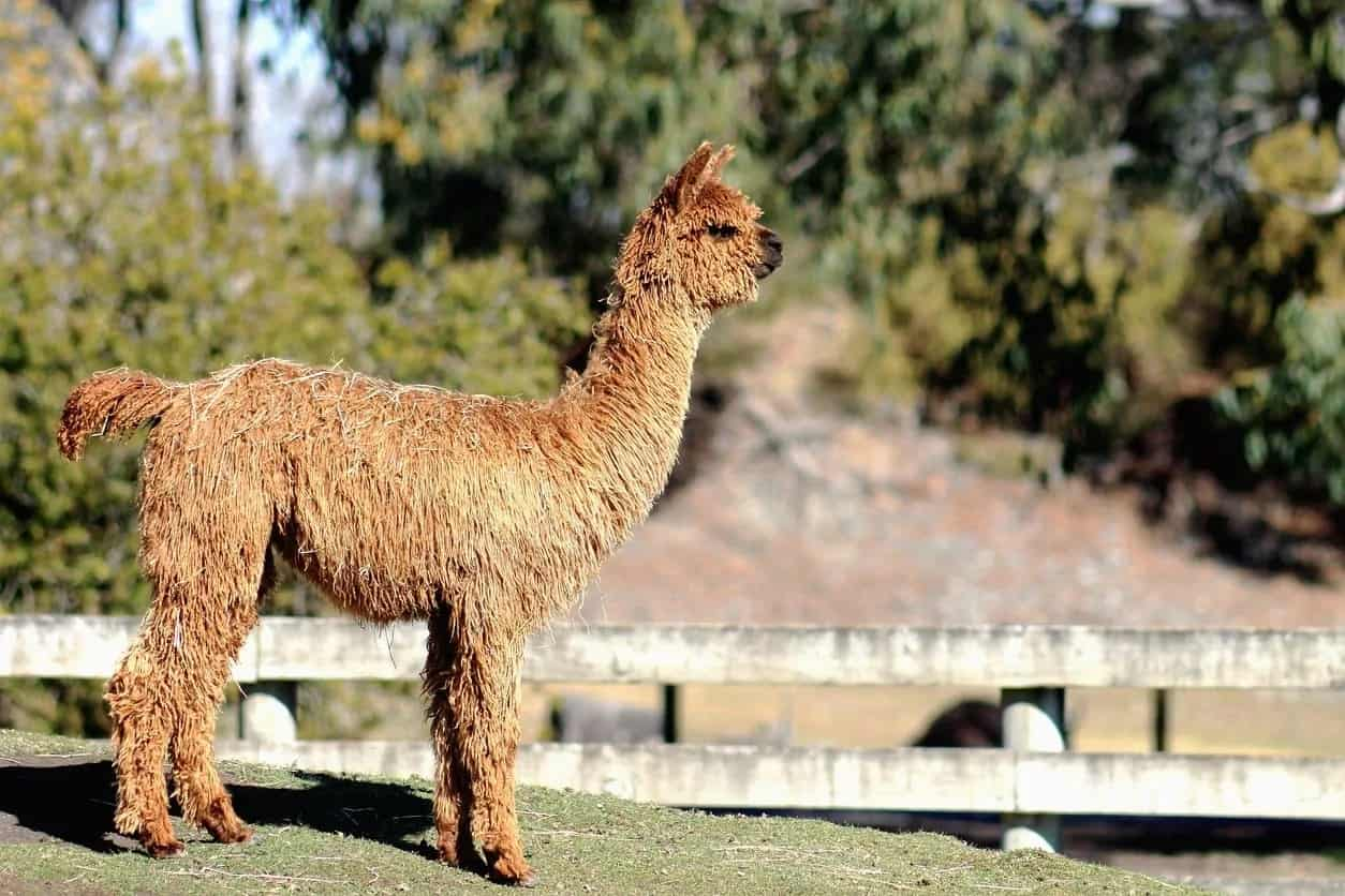 A Suri llama on an enclosed farm.