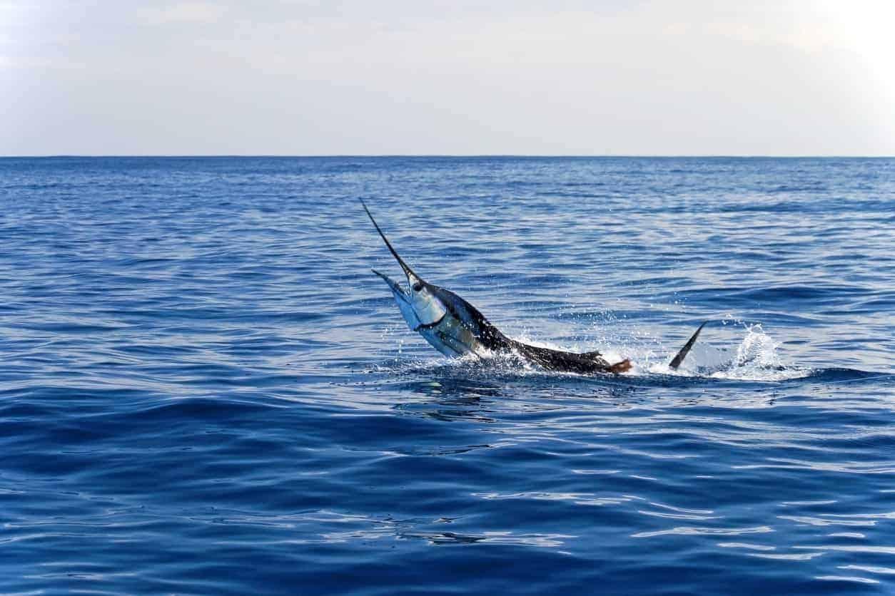 Swordfish swimming in the ocean.
