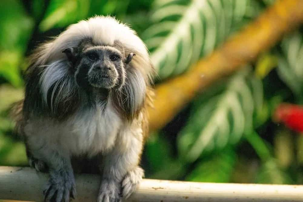 Tamarin monkey sitting on a branch.