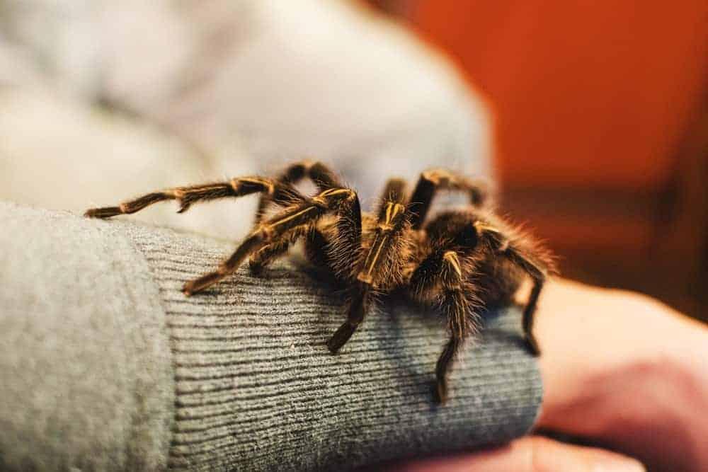 Tarantula ready to bite.