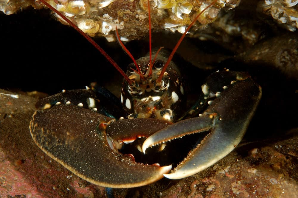A special species of clawed lobster