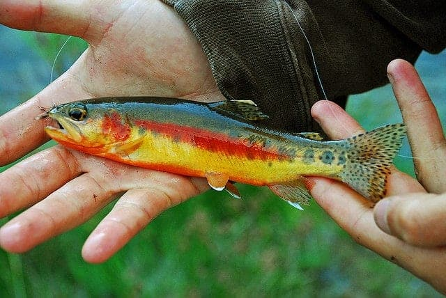 The Golden trout