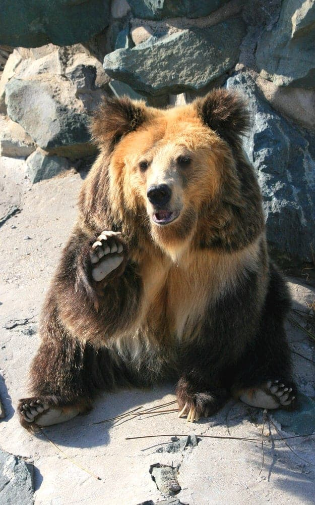 A waving Tibetan Blue Bear.