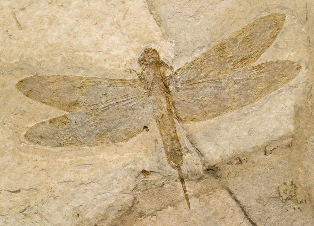 Fossil of a dragonfly