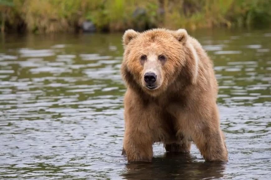 Brown bear on the water.