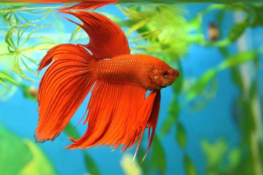 A red betta fish inside the aquarium.