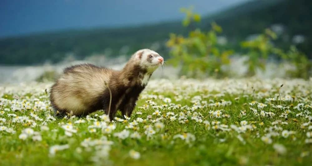 A ferret on a lush grass