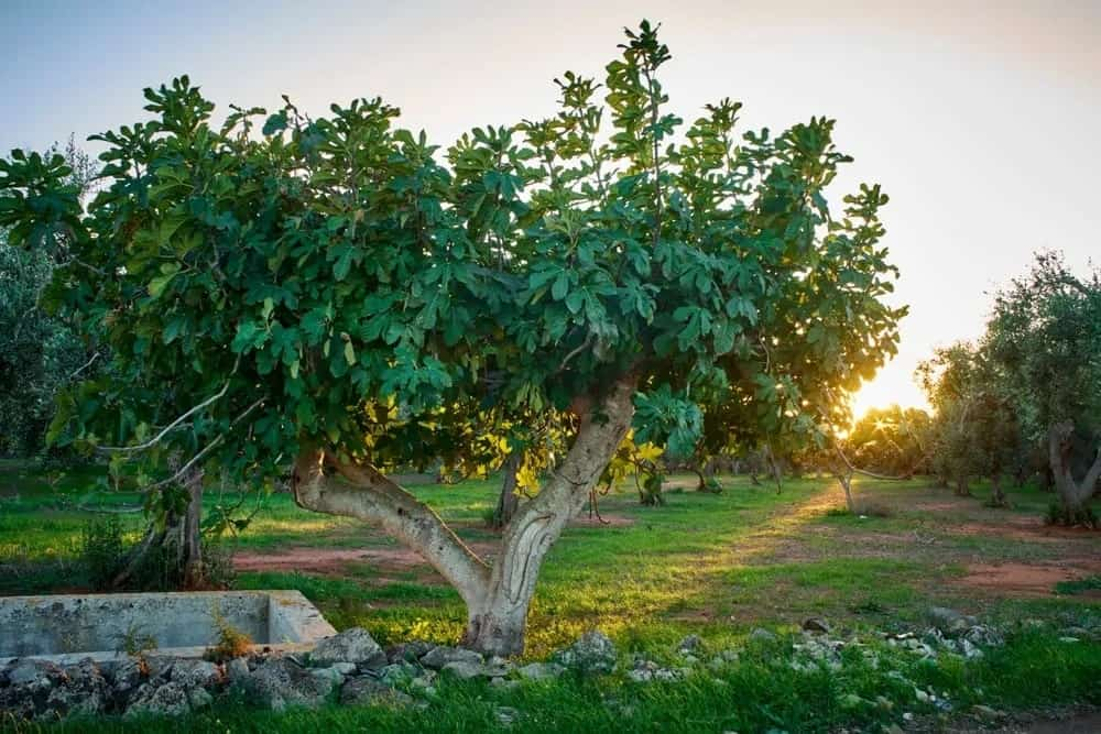 Fig trees at sunset