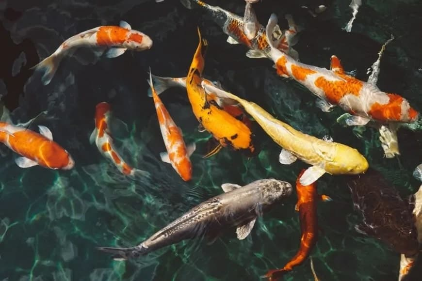 Koi fishes in a pond.