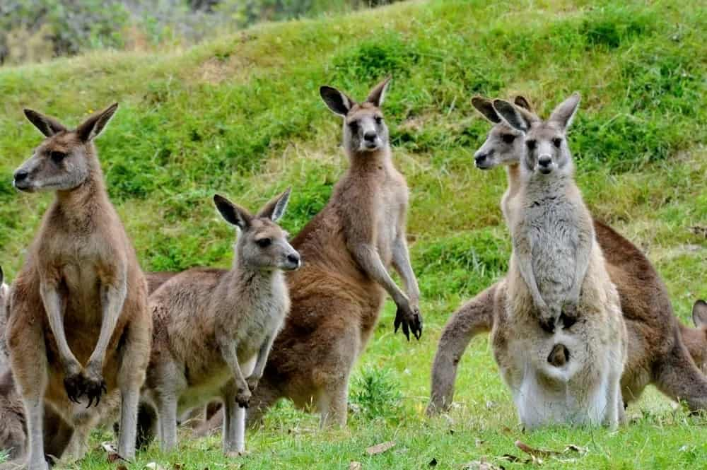 Kangaroos on an open grassland