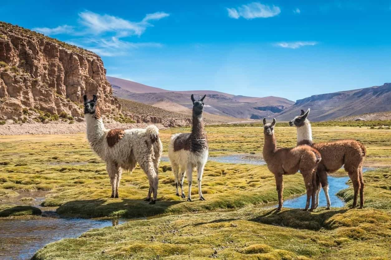 Llamas of various varieties on an expansive farm.