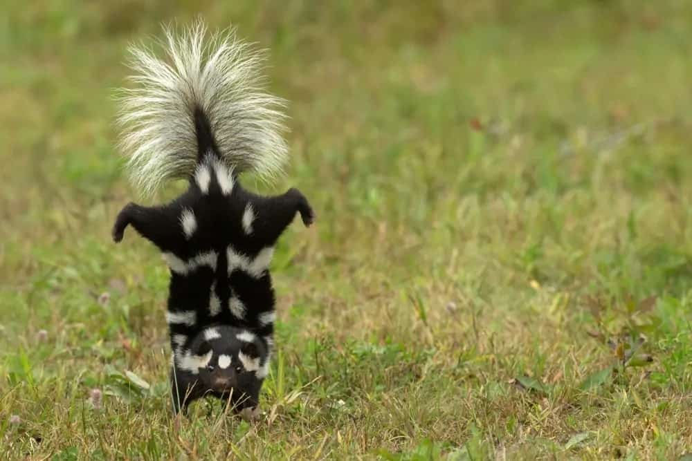A skunk doing a handstand.