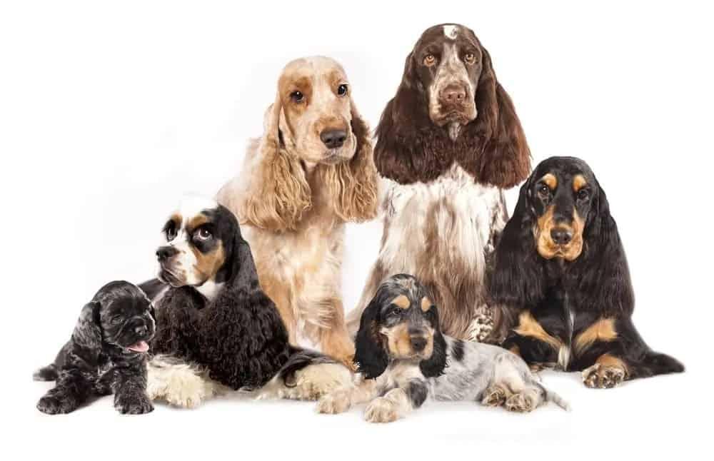 Various breeds of Spaniels