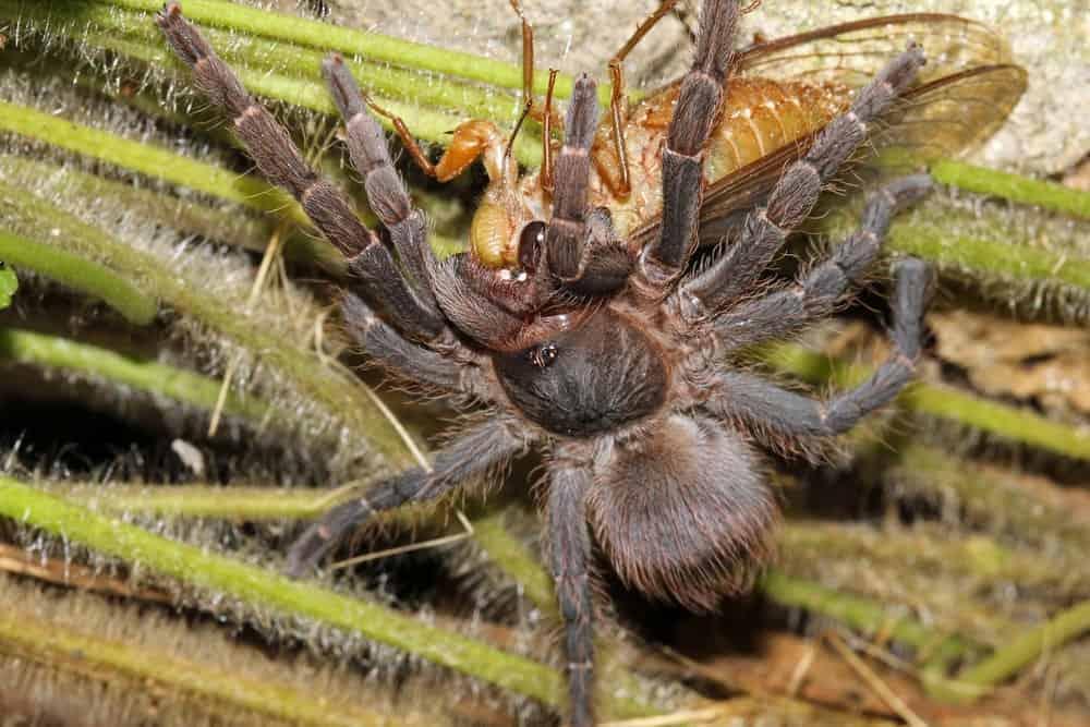 Tarantula eating an insect.