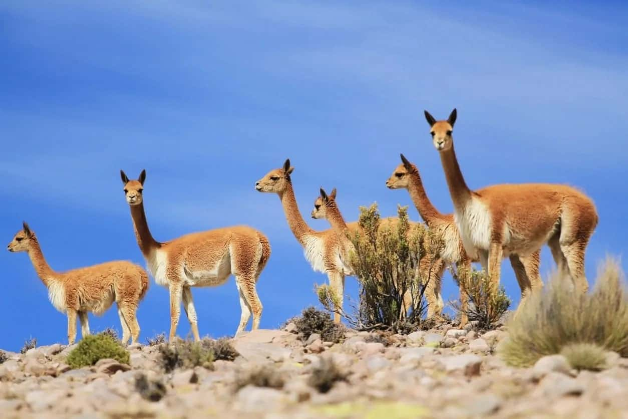 A herd of Vicuna llamas.