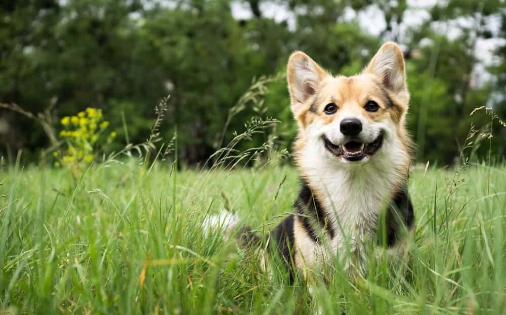 Welsh Corgi smiling while sitting on the grass.