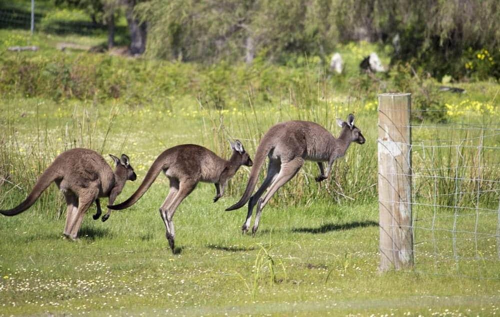 Three Western Gray Kangaroos jumping