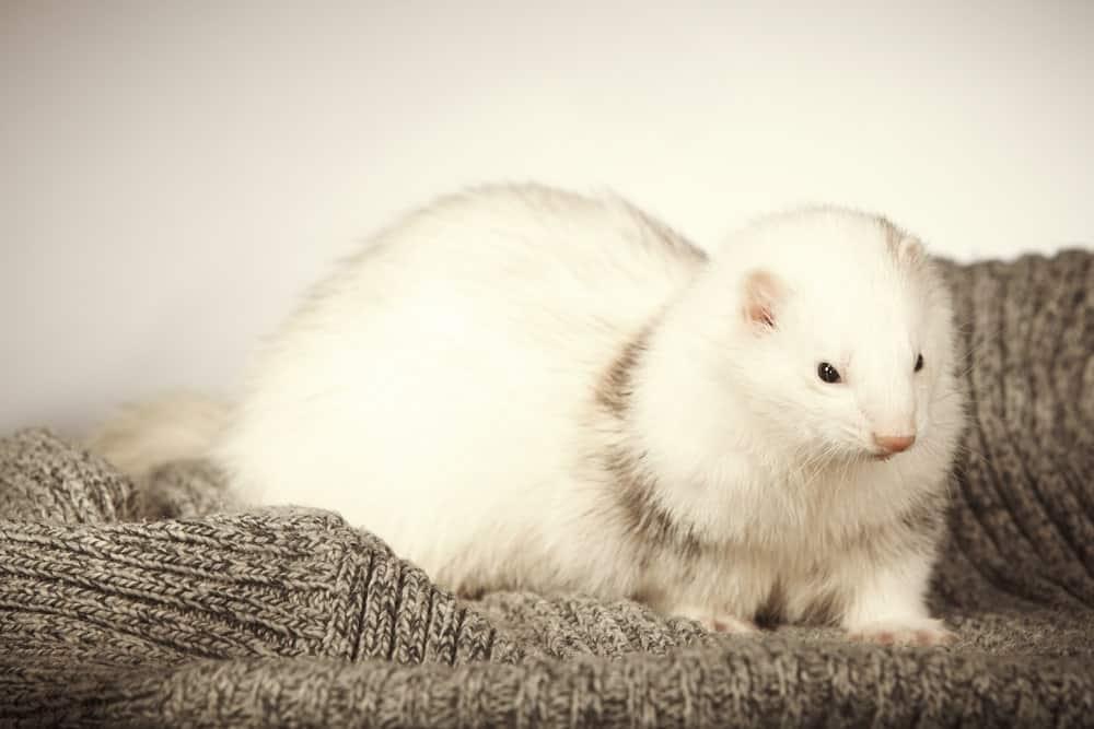 Dark-Eyed White Ferret