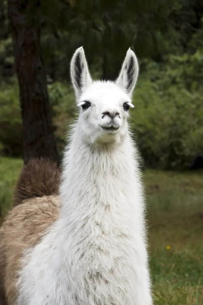 A closer shot of a Wooly llama.