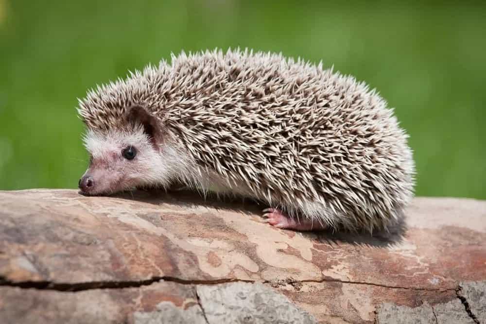 African hedgehog resting on a log.
