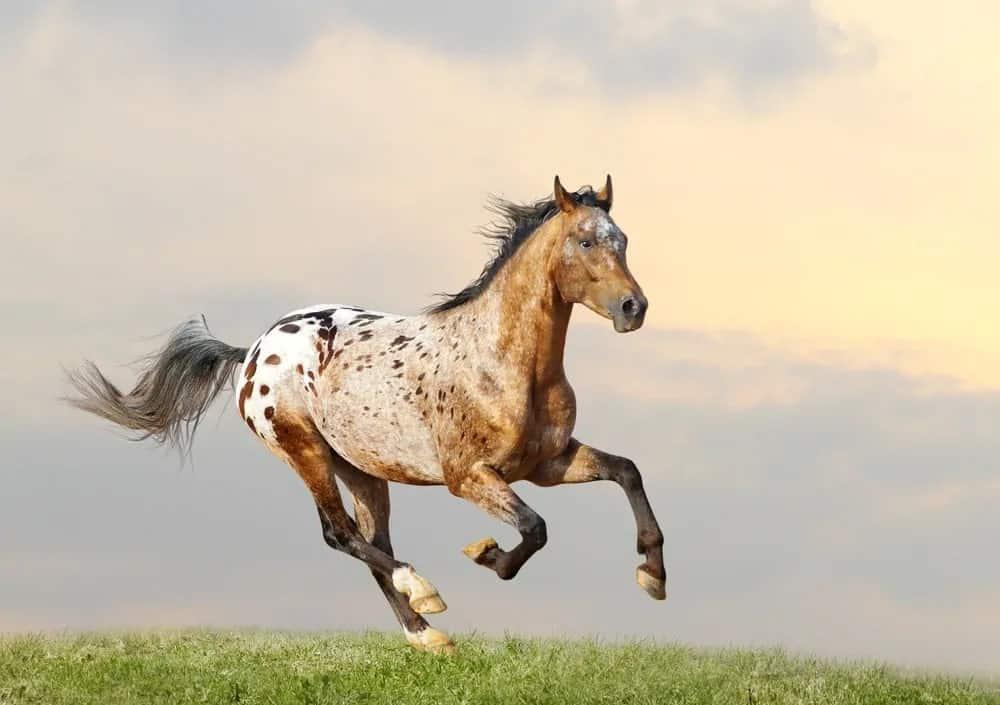 Appaloosa stallion running full tilt in the American West.