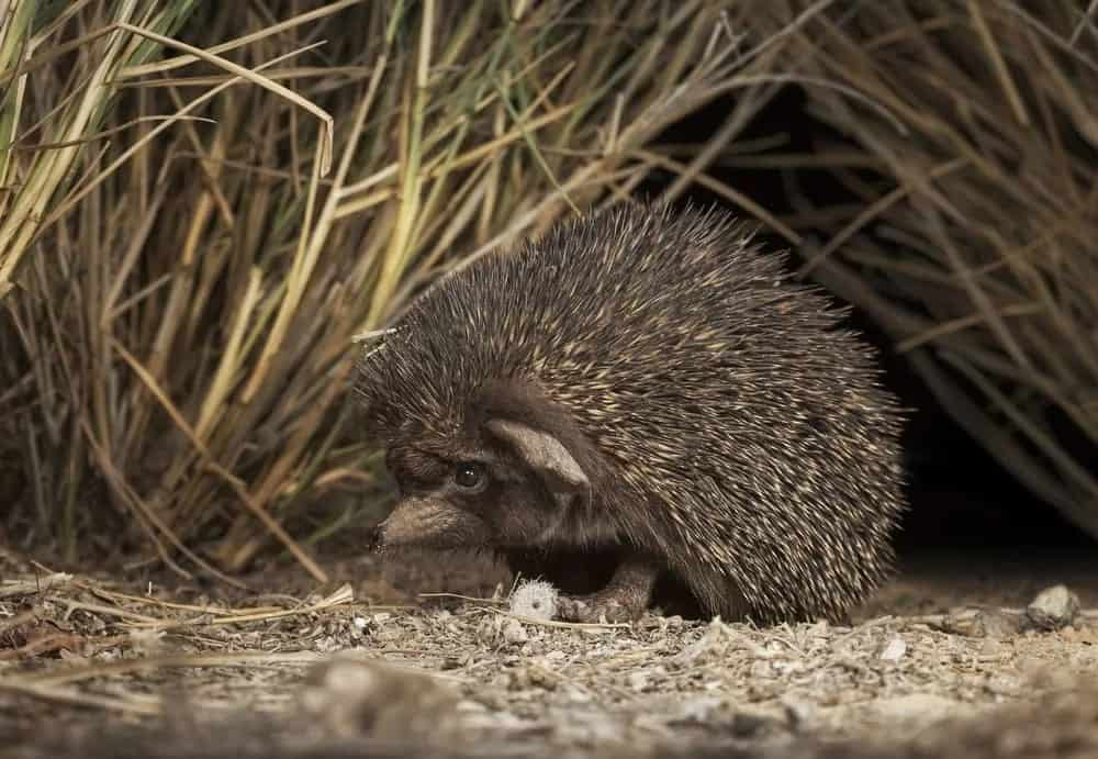 Asiand and desert hedgehog in a field.